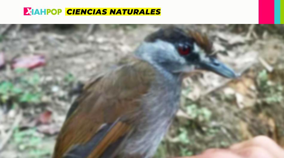 Encuentran una especie de ave que se creía extinta hace 172 años